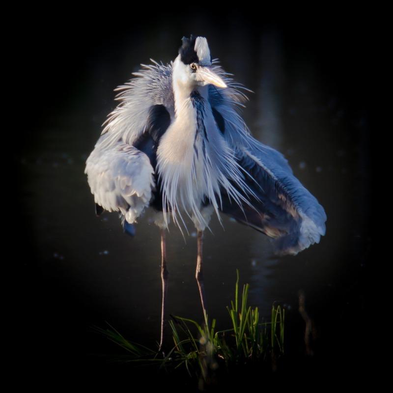 Grey Heron - Big waders etc: Crane, Storks, Bustards, Ibises and Herons.
