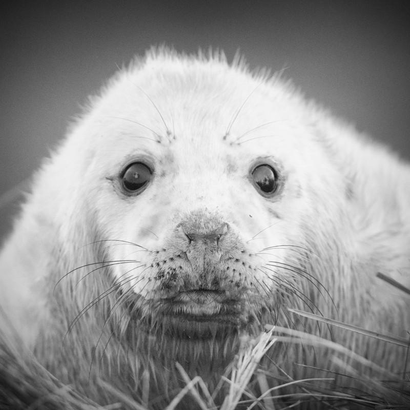 Seal Pup mono - Wildlife