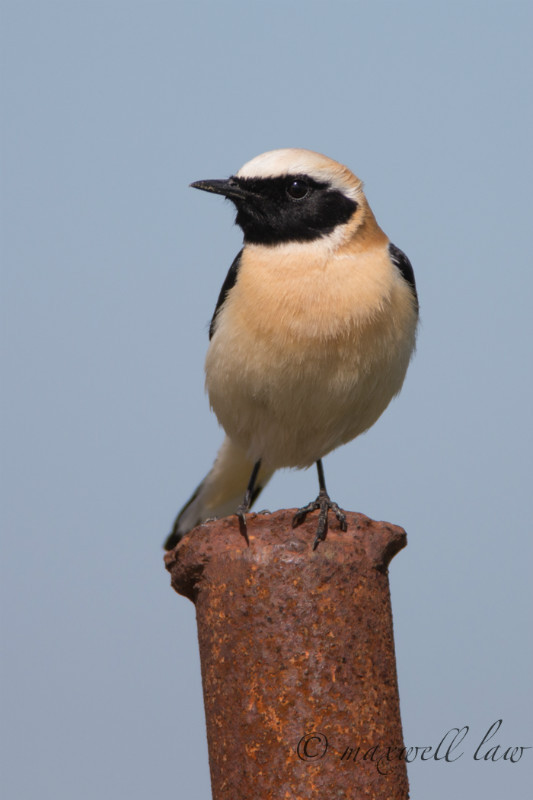 Black Eared Wheatear - Meadows, gardens and arable: Pipits, Wagtails, Chats, Finches, and Buntings.