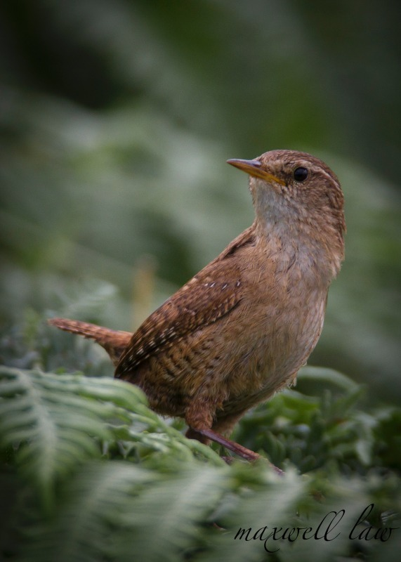 Wren - Meadows, gardens and arable: Pipits, Wagtails, Chats, Finches, and Buntings.