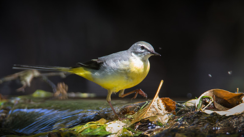 Grey Wagtail-2 - Meadows, gardens and arable: Pipits, Wagtails, Chats, Finches, and Buntings.