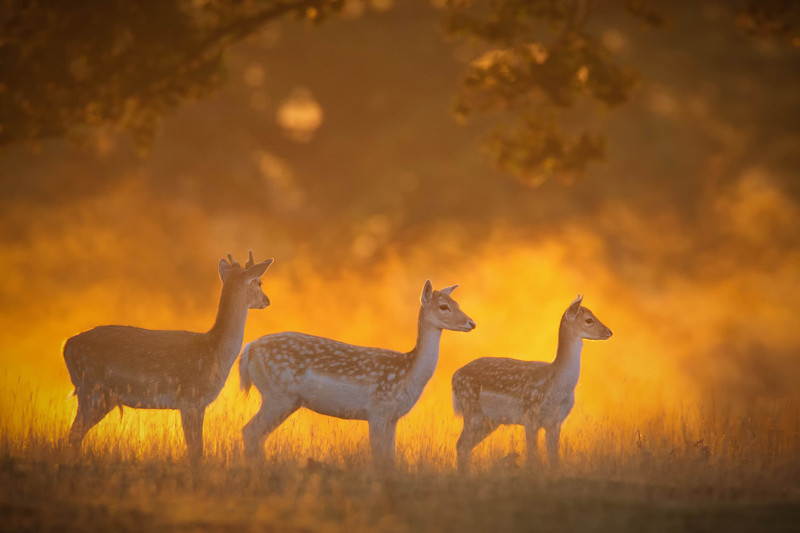 Deer-2 - Wildlife