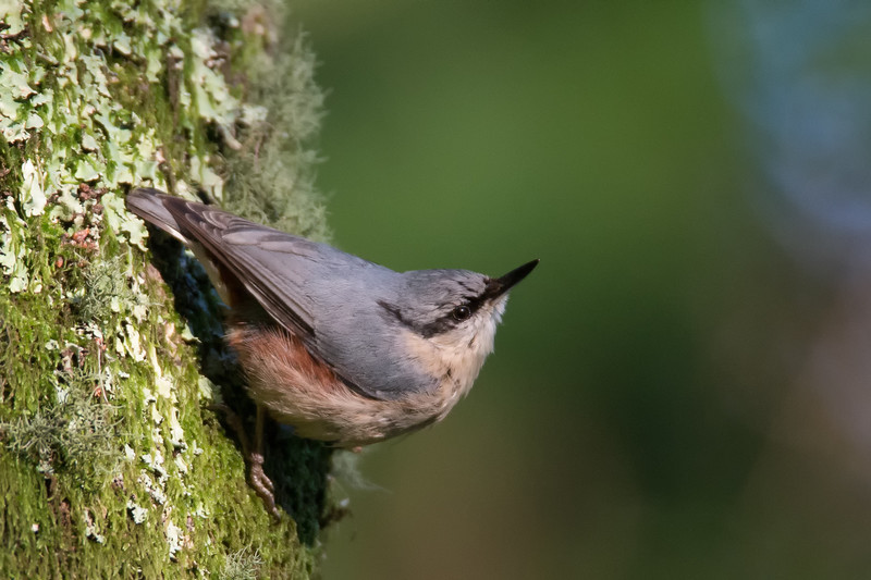 Nuthatch - Woodland birds: Woodpeckers, Thrushes, Warblers, Tits, Crests, Flycatchers, Hoopoe and Cuckoo.