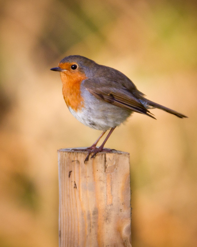 Robin-6344 - Meadows, gardens and arable: Pipits, Wagtails, Chats, Finches, and Buntings.