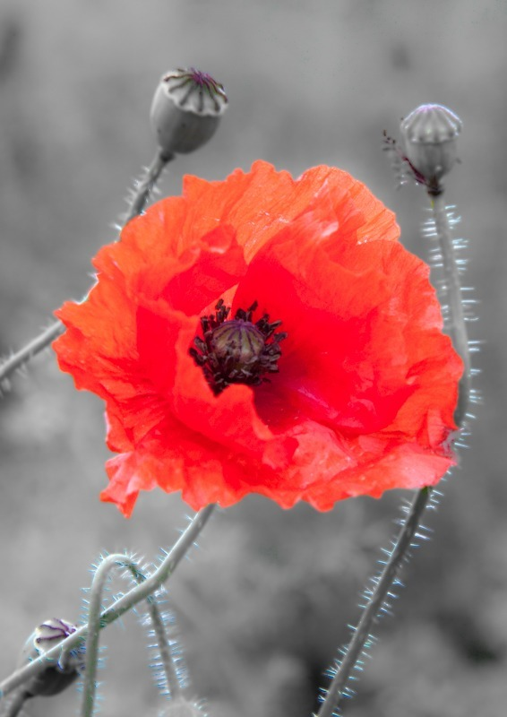 Poppy in Norfolk-8425 - Plants / Flora