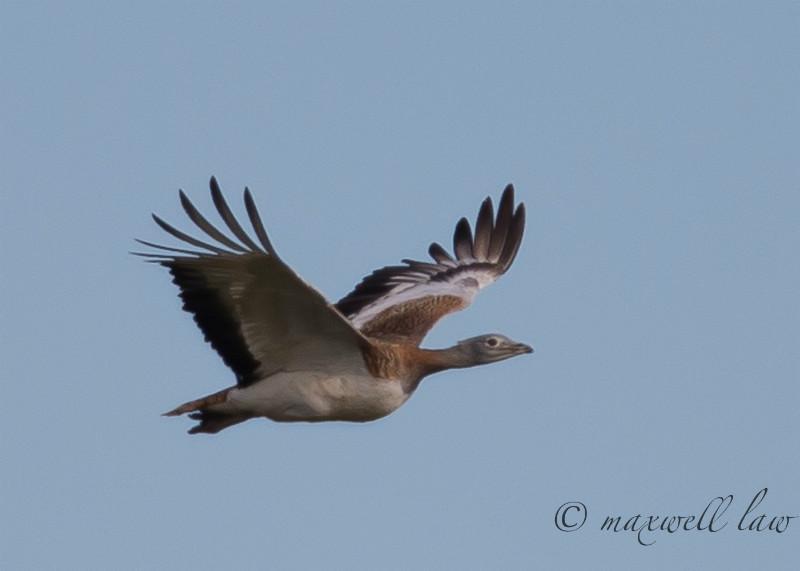 Great Bustard - Big waders etc: Crane, Storks, Bustards, Ibises and Herons.