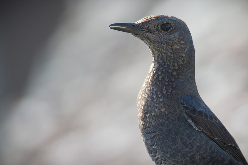 Blue Rock Thrush - Woodland birds: Woodpeckers, Thrushes, Warblers, Tits, Crests, Flycatchers, Hoopoe and Cuckoo.