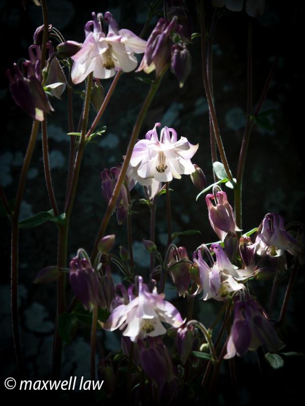 Aquillegia 2-5062 - Plants / Flora