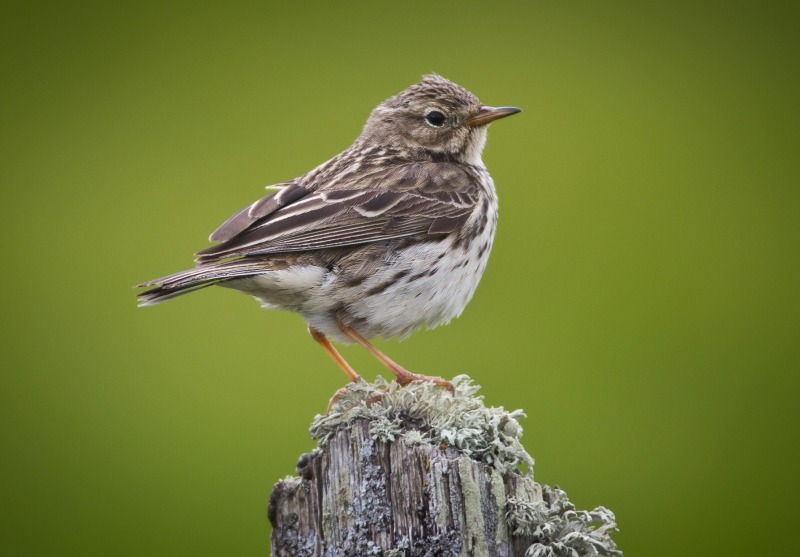 Meadow Pippit-2730 - Meadows, gardens and arable: Pipits, Wagtails, Chats, Finches, and Buntings.