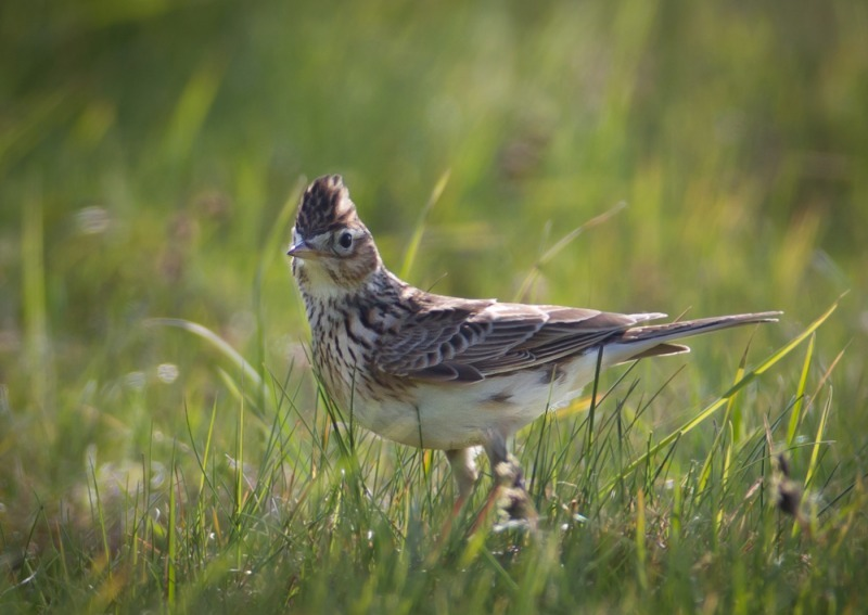 Skylark-6545 - Birds of the sky: Swallows, Martins and Larks