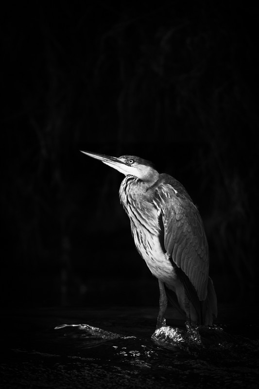 Grey Heron at Weir - Wildlife