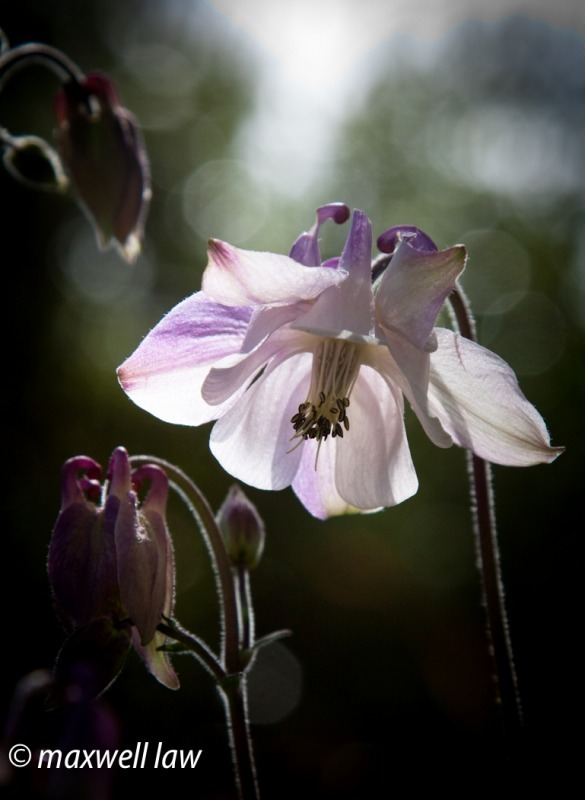 Aquillegia-5082 - Plants / Flora