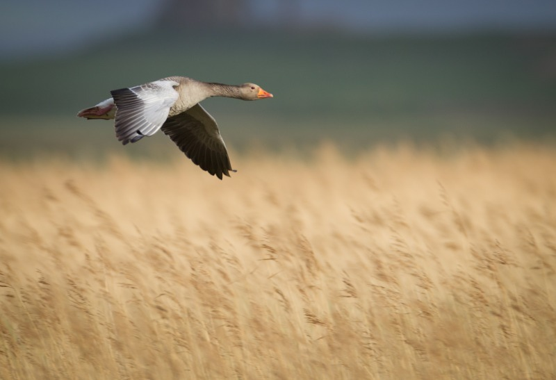Greylag in Orkney 2-0597 - Wildfowl: Ducks, Loons, Grebes and Geese