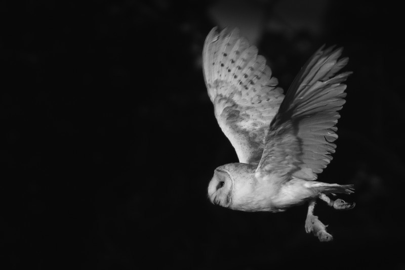 Barn Owl - Wildlife