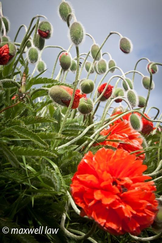 poppies 1-4918 - Plants / Flora