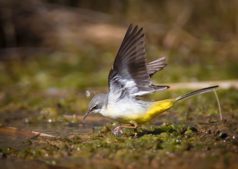 Grey Wagtail 2 - Meadows, gardens and arable: Pipits, Wagtails, Chats, Finches, and Buntings.