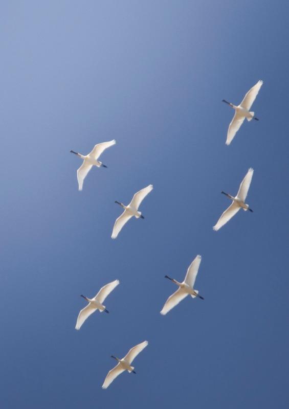 Spoonbills-2 - Big waders etc: Crane, Storks, Bustards, Ibises and Herons.