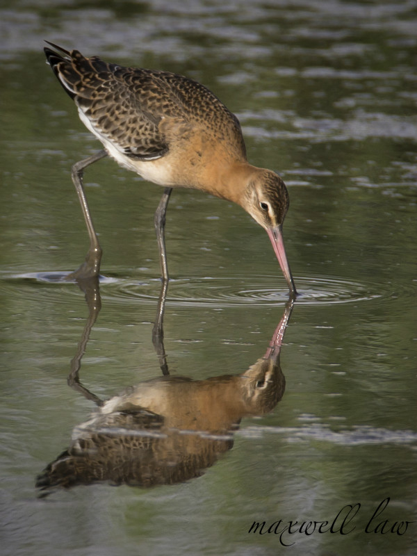 Bar Tailed Godwit - Water Margins: Waders, Rails, Crakes, Reedling, Dipper and Kingfisher.