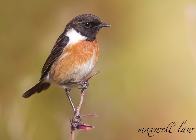 Stonechat-3 - Meadows, gardens and arable: Pipits, Wagtails, Chats, Finches, and Buntings.