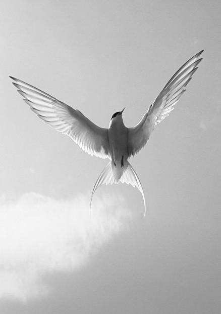 Arctic Tern - Wildlife