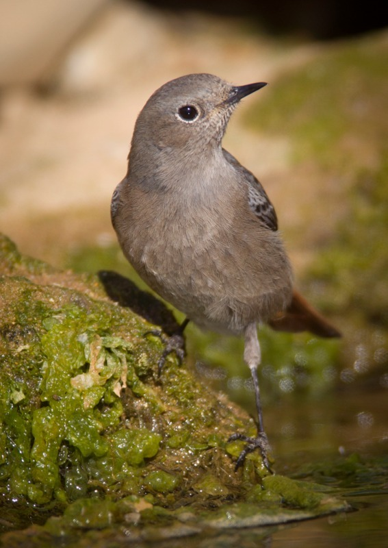 Black Redstart-2 - Woodland birds: Woodpeckers, Thrushes, Warblers, Tits, Crests, Flycatchers, Hoopoe and Cuckoo.