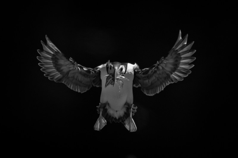 Puffin mono-4 - Wildlife