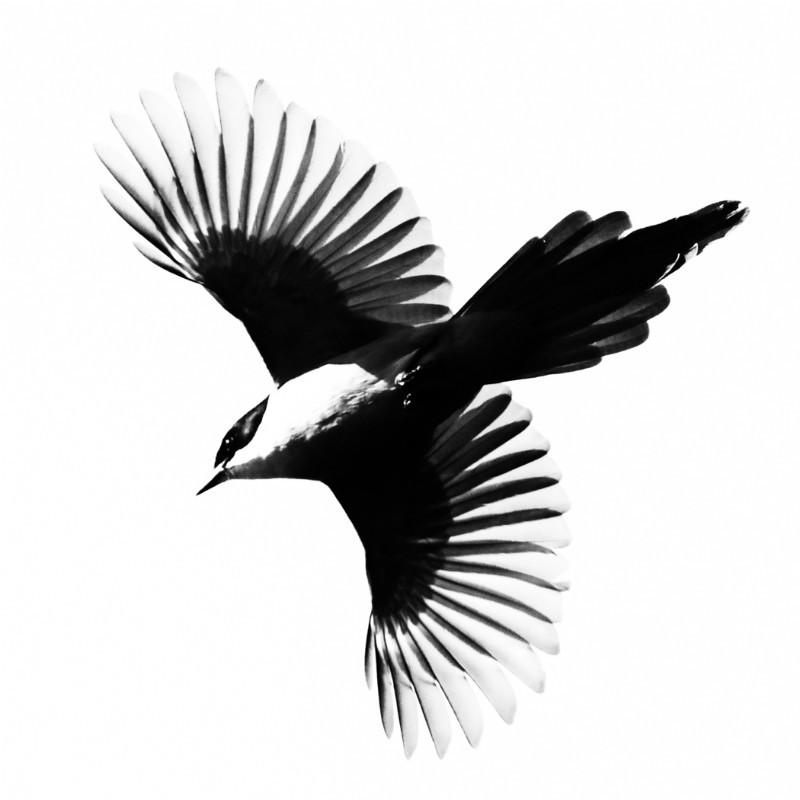 Azure winged Magpie - Wildlife