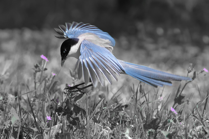 Azure Winged Magpie - Farmland and moors: Pheasants, Grouse, Partridge, Pigeon, Doves and Crows