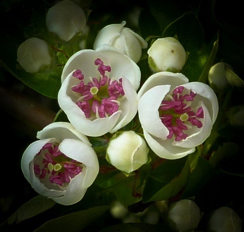 Apple blossom 2-1010956 - Plants / Flora