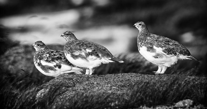 Capercaillie - Wildlife