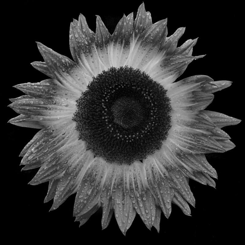 Sunflower Oct 2-8922 - Plants / Flora