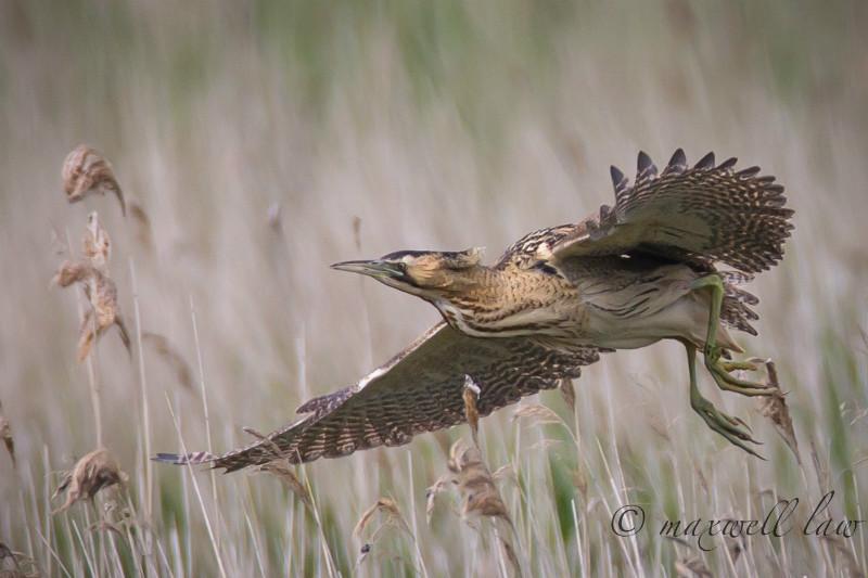 Bittern - Big waders etc: Crane, Storks, Bustards, Ibises and Herons.