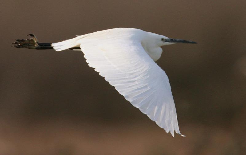 flying egret- - Big waders etc: Crane, Storks, Bustards, Ibises and Herons.