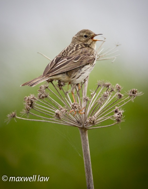 Meadow Pipit 3-2749 - Meadows, gardens and arable: Pipits, Wagtails, Chats, Finches, and Buntings.