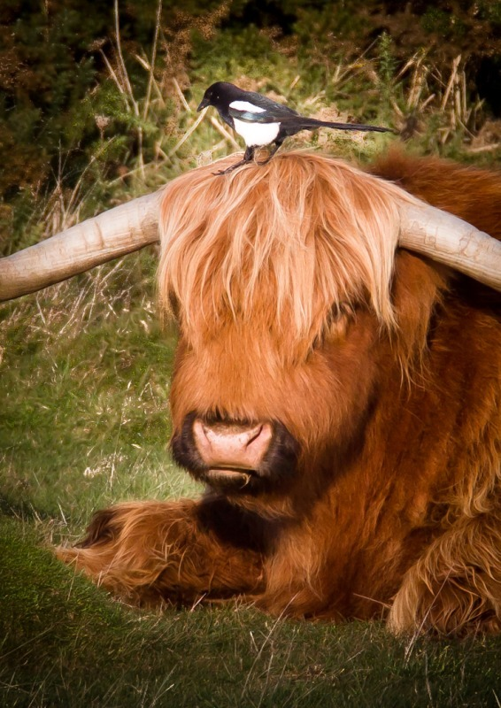 Magpie and Highland Cow-4979 - Wildlife