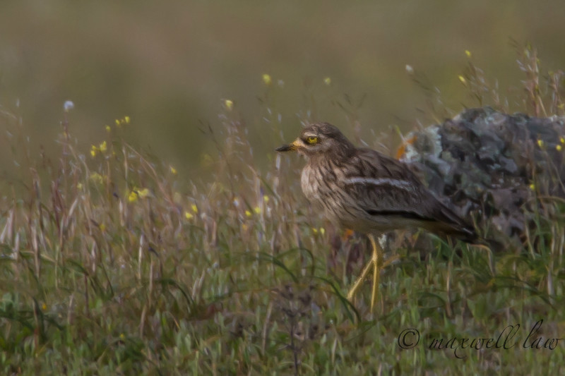 Stone Curlew-2 - Farmland and moors: Pheasants, Grouse, Partridge, Pigeon, Doves and Crows