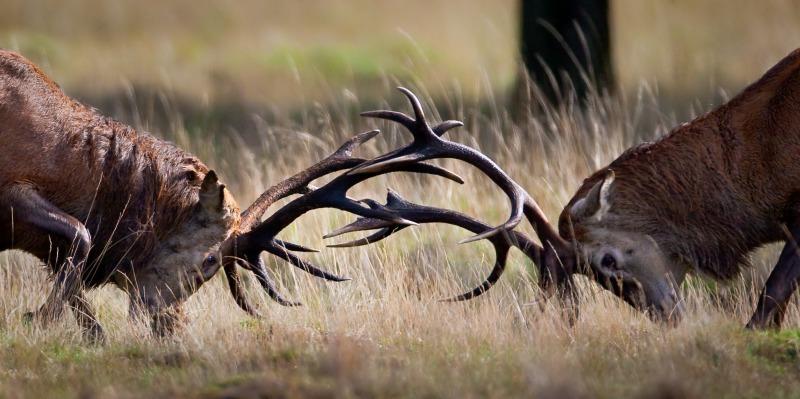 Red Deer Rut - Wildlife