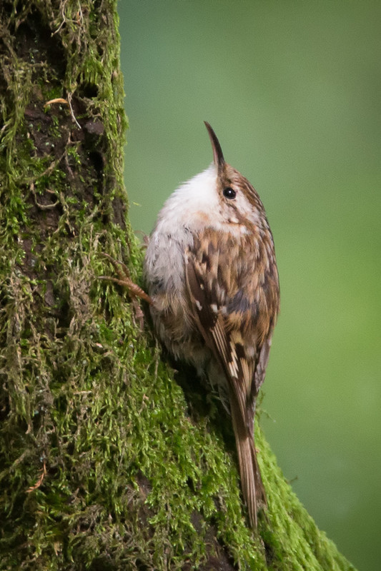 Treecreeper-2 - Woodland birds: Woodpeckers, Thrushes, Warblers, Tits, Crests, Flycatchers, Hoopoe and Cuckoo.