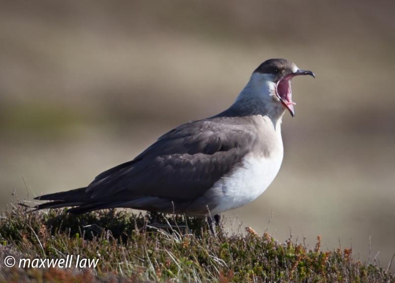 Arctic Skua - Seabirds: Gulls, Skuas, Terns, Gannets, Cormorants and Auks