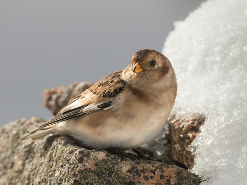 Snow Bunting - Meadows, gardens and arable: Pipits, Wagtails, Chats, Finches, and Buntings.