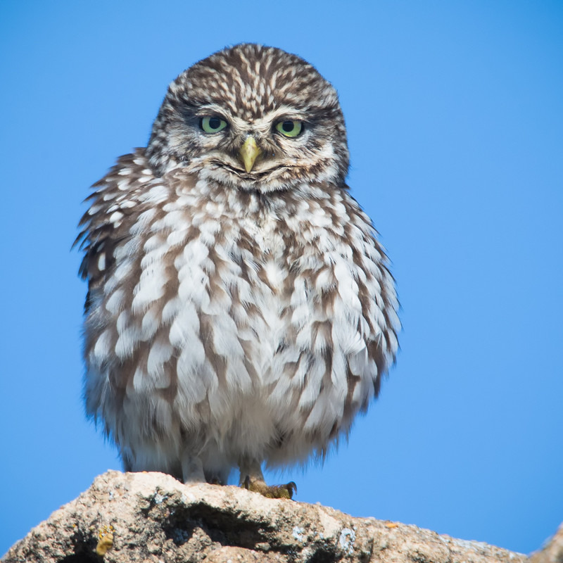 Little Owl - fluffy - Birds of Prey and Owls