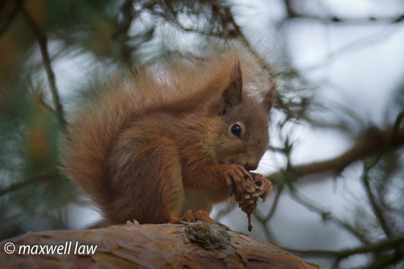 Red Squirrel 1-0061 - Wildlife