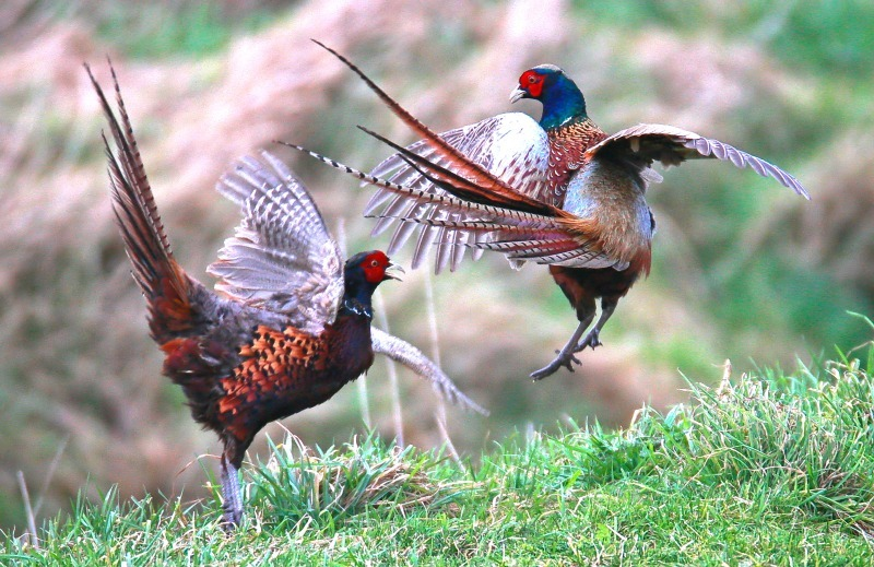 Pheasants - Farmland and moors: Pheasants, Grouse, Partridge, Pigeon, Doves and Crows