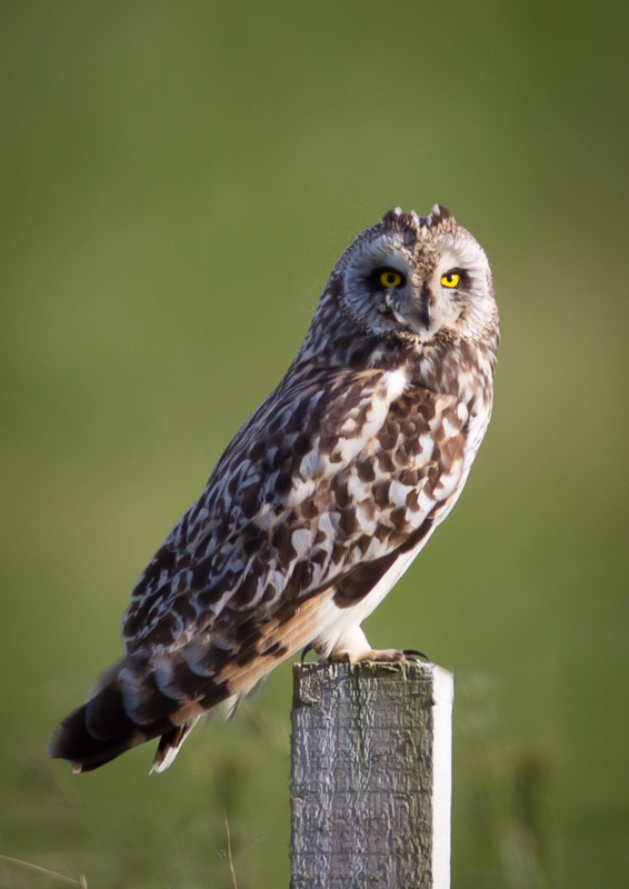 Short Eared Owl 2-4622 - Birds of Prey and Owls