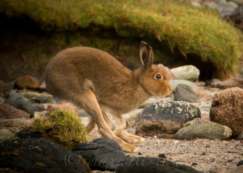 Mountain Hare - Wildlife