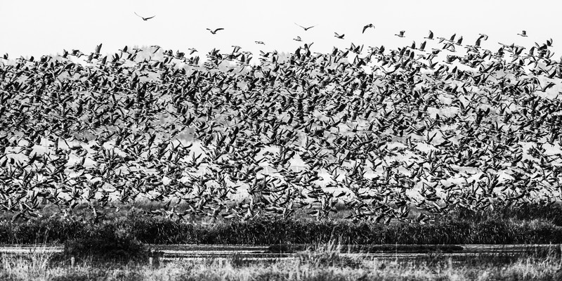 Pink Footed Geese at Martin Mere - Wildfowl: Ducks, Loons, Grebes and Geese