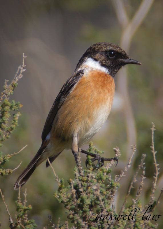 Stonechat - Meadows, gardens and arable: Pipits, Wagtails, Chats, Finches, and Buntings.