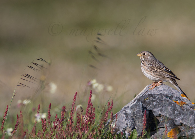 Corn Bunting - Meadows, gardens and arable: Pipits, Wagtails, Chats, Finches, and Buntings.