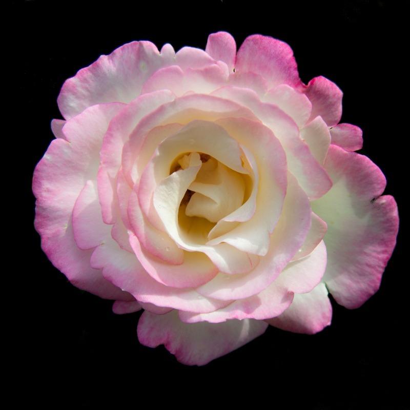 Pink Rose-8444 - Plants / Flora