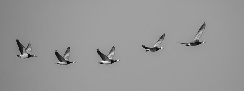 Barnacle geese - Wildlife